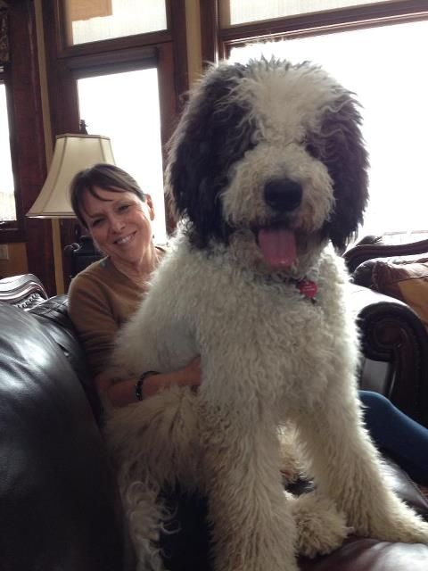 Saint Berdoodle- love it! No shedding but still get your giant lap dog:)
