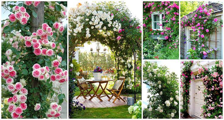 Ruže Penjačice (ruže puzavice) – cvijeće koje pruža spektakularan prizor – Recepti na brzinu
