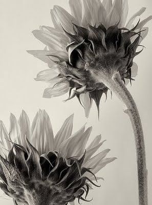 Untitled (sunflowers) by German botanical fine art photographer Karl Blossfeldt (1865-1932). via universo paralelo