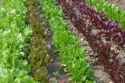 Die Pflücksalat-Sorten 'Hardy',  'Red Salad Bowl', 'Babyleaf' sind perfekt geeignet für den Anbau im Herbst.
