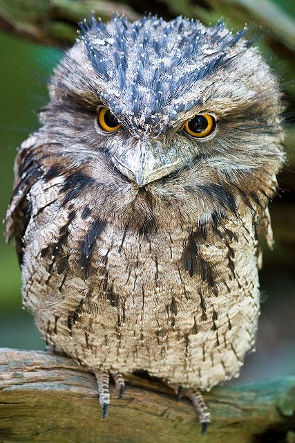 Tawny Frogmouth owl. The feathers are incredible camoflauge, don't you think? They look just like bark!