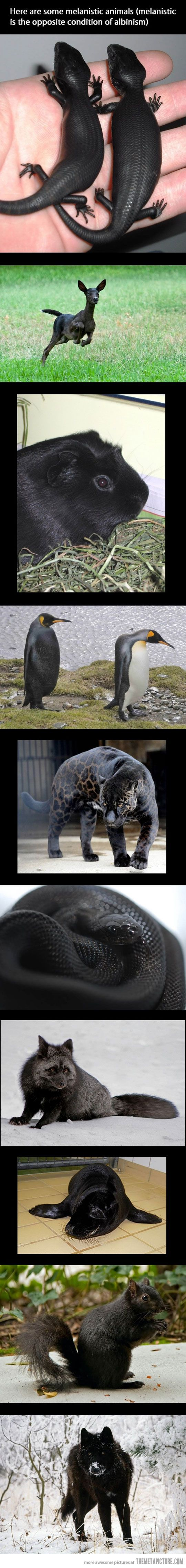 melanistic animals- I feel stupid for not knowing this condition existed. I mean, since there is an opposite for nearly everything- why not albinism?