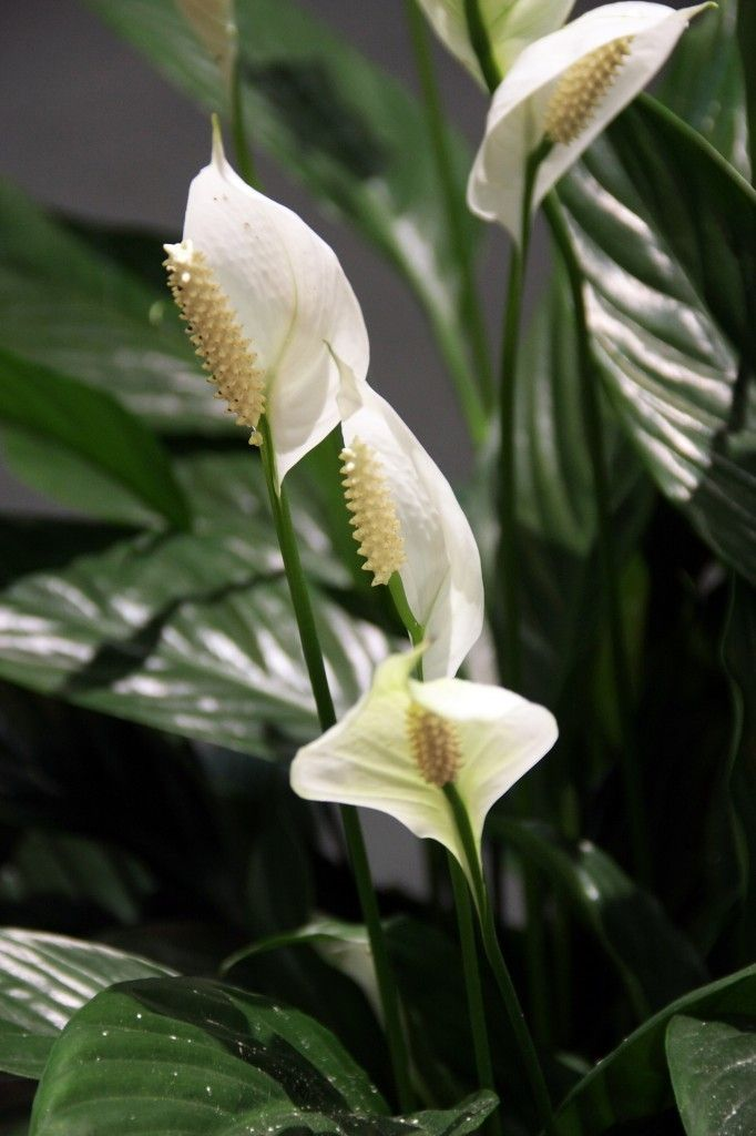 Caring for peace lily