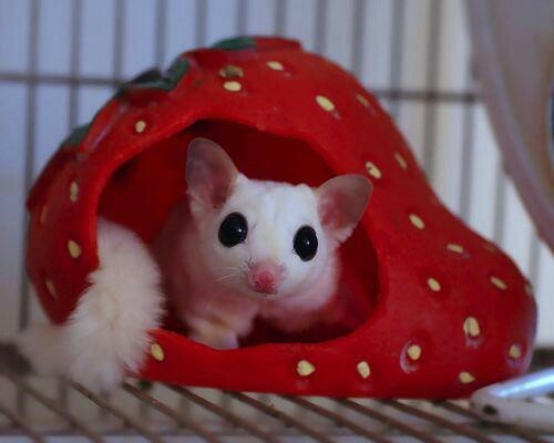 152 best images about Sugar gliders on Pinterest | Sugar ...