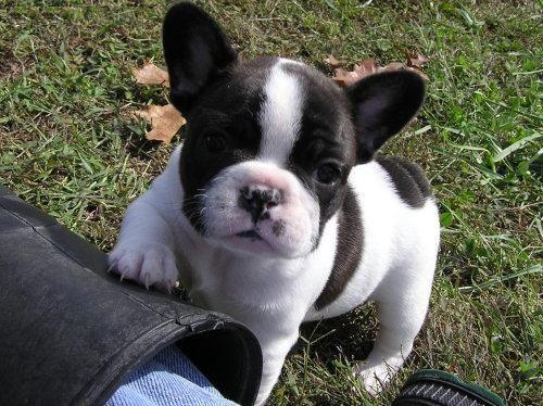Super cute Female French bulldog Puppy
