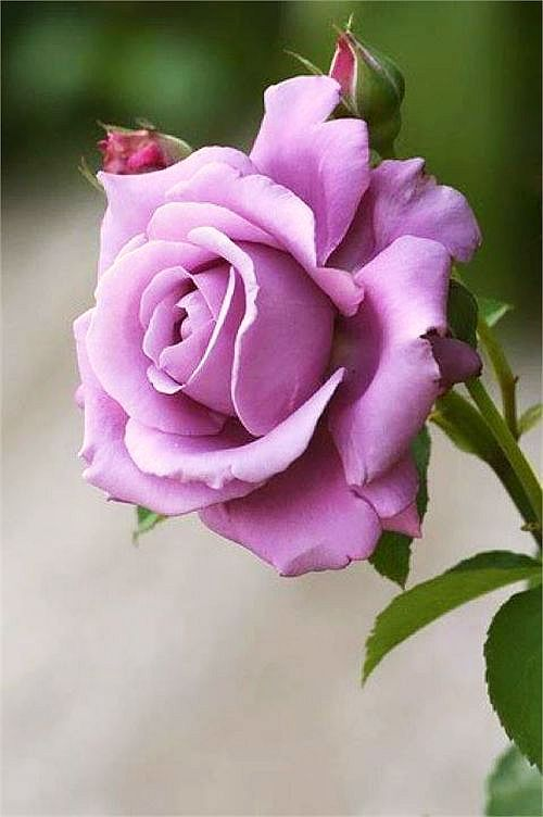 Lavender #Rose Welcome To My Pinterest Boards... Feel free to pin what catches your eye & inspires you. These boards are made for your enjoyment & pleasure. Thank you, & please follow me if you like.♥ Rosalyn ♥