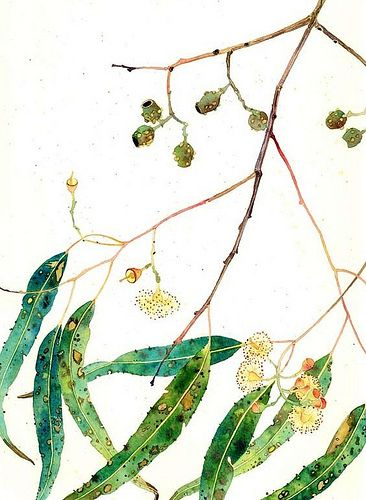 eucalyptus leaves and pods by Mango Frooty, via Flickr