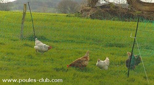 Choix et installation d'un filet pour poules afin de créer un nouvel enclos…