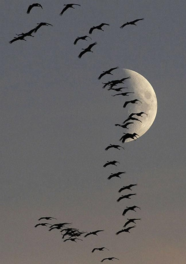 Beautifully composed by Pawel Kopczynski A flock of migrating cranes fly in