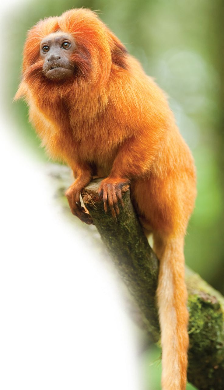 Golden Lion Tamarin | Facts At Your Fingertips: ... - Credo Reference