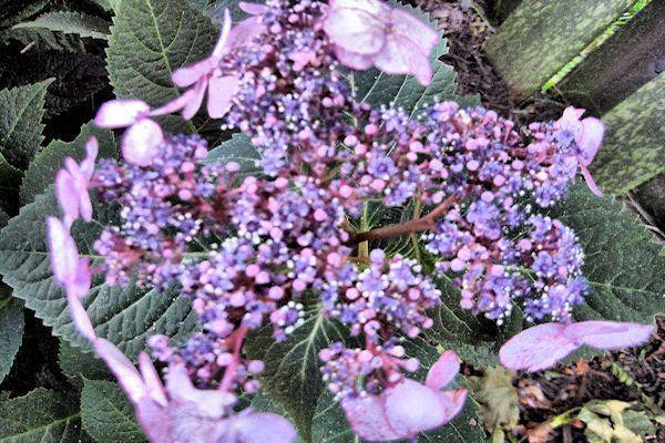 Farbe Dieses Monats Im Garten 12 Schattierungen Von Lila Bluten Fur Ihren Garten Ideen Baum Lila Bluten Garten Lila