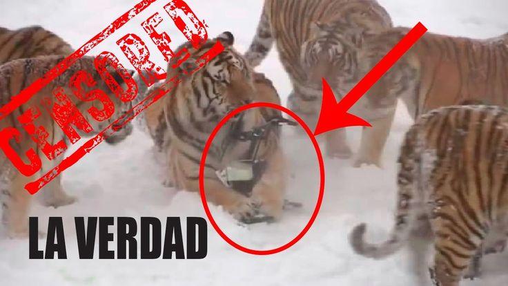 LA VERDAD: Tigres Cazando Drones - Tigres & Drone - Universo Misterios y...