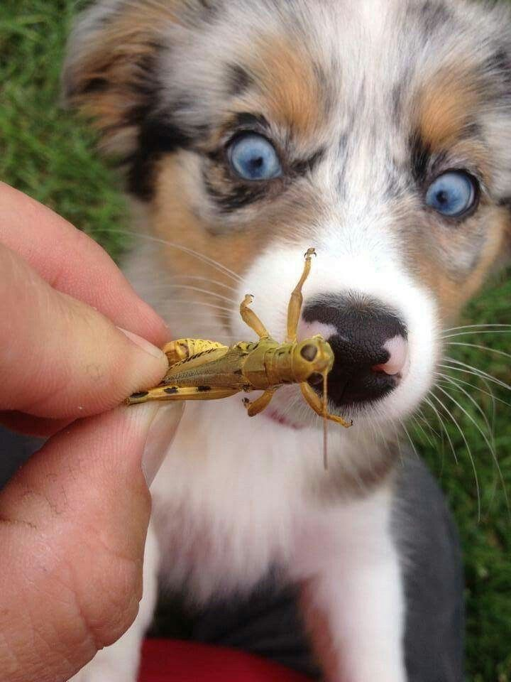 Beware of the Grasshopper! Australian Shepherd puppy curious about what this is.