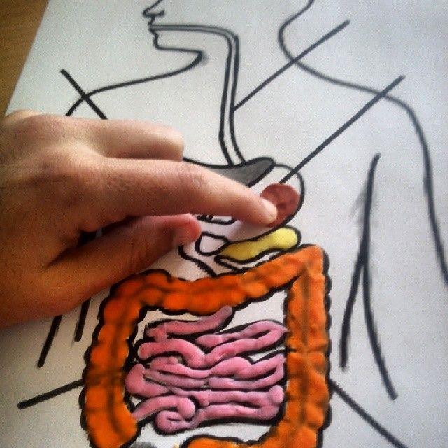 Aparell digestiu amb plastilina
