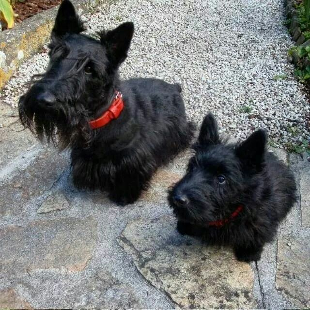 Scottie dogs.                                                                                                                                                                                 More