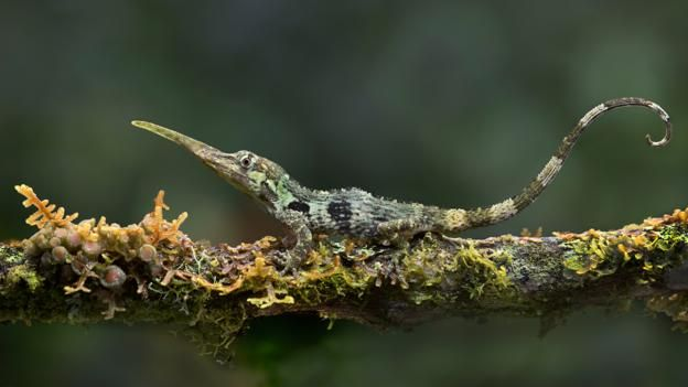 BBC - Earth - The strange reason why the Pinocchio lizard has a long nose