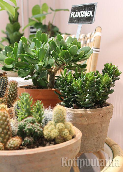 Vihersisustuksessa pieni on nyt kaunista. Mehikasvit ja kaktukset ovat muodikkaita runsaina ryhminä.