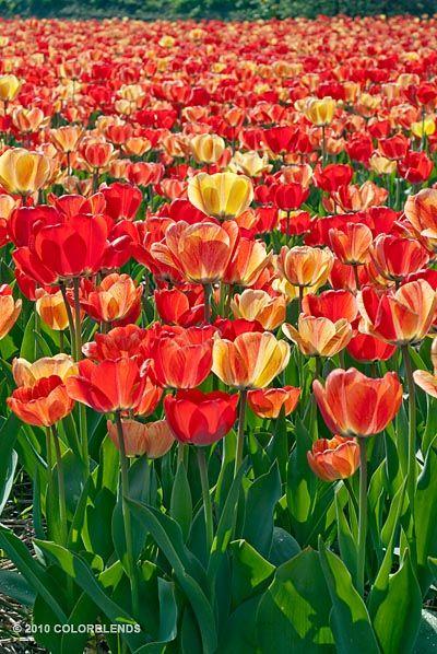 Tulip Gudoshnik | Perennial Tulips Bulbs for Sale | COLORBLENDS