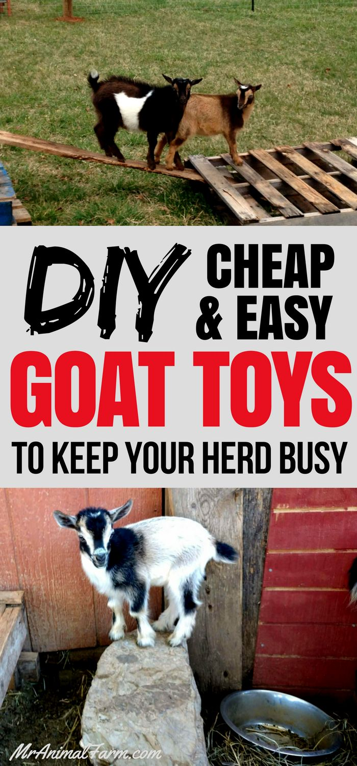 Goat Toys!  Awesome DIY & Cheap toys for goats to keep them busy and entertained.  Every herd needs some goat toys!