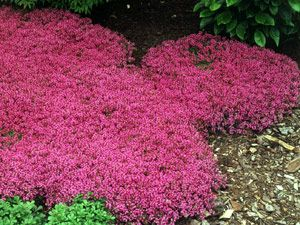 """Red Creeping Thyme - Fragrant & fast-growing 1"""" tall ground cover. Perfect with Sedums, KnockOut Roses, Ornamental Grasses, Daylilies, & Gaillardia."""