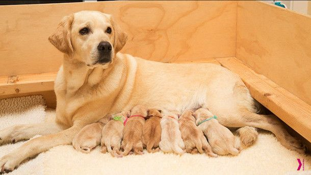 Check out the Canine Companions for Independence Puppy Cam! - Orvis News. Note: as with other breeder cams, this one may be inactive when you click on it (depending on whether there is a little on site).