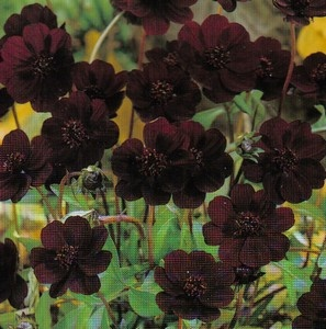 For scent: Cosmos - Cosmos Atrosanguineus. The flowers have rich velvety petals of chocolate maroon. They are complimented by the unmistakable scent of chocolate.