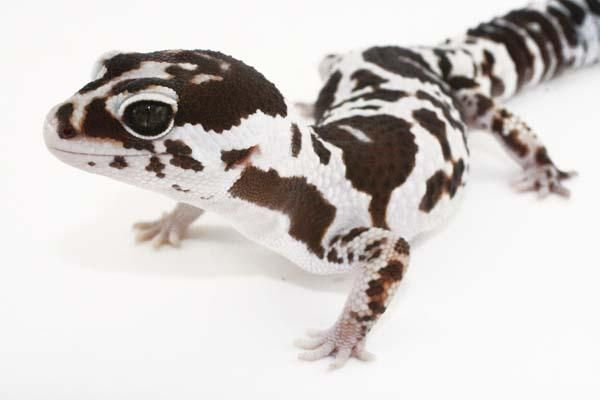 26399-fat-tailed-geckosFatTail12-e7c5ba17.jpeg (600×400)