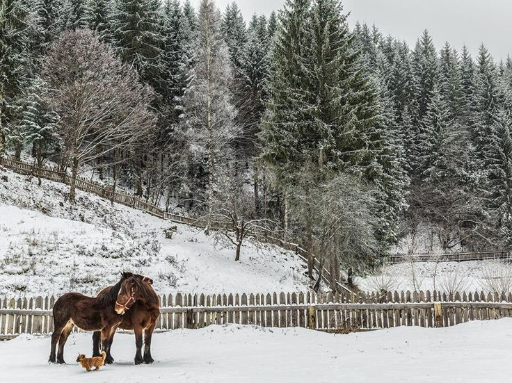 Picture of horses and a dog in a snowy pasture in Bucovina, Romania