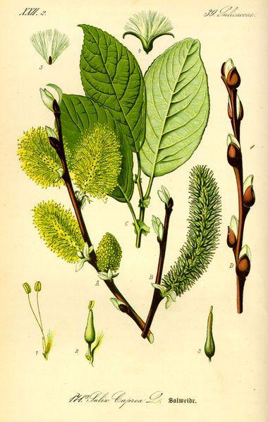 Las plantas en el A.E: Sauce , Salix subserrata.