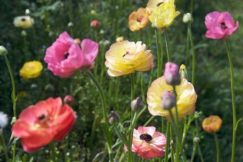 Poppies:)