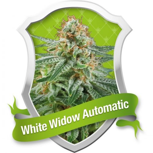 La White Widow Automatic est un nouveau croisement d'une variété classique hollandaise, White Widow, reconnue par la plupart des fumeurs et des cultivateurs comme une variété vraiment classique. Nous avons pris un clone fantastique de la variété White Widow originale et nous l'avons croisé avec nos meilleures variétés auto-florissantes.