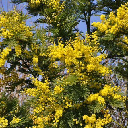 23 best mimosa images on pinterest mimosas plants and spring. Black Bedroom Furniture Sets. Home Design Ideas