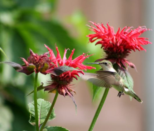 Commonly Known As Bee Balm Monarda Species Are Great For Attracting Hummingbirds Photo By