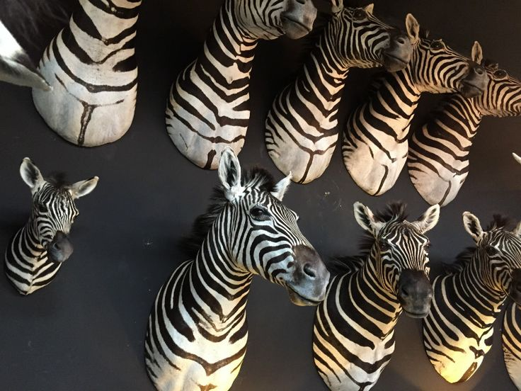 Very nice zebra heads - Shouldermounts Stuffed head. Hunting trophy animals. Taxidermy - De Jachtkamer