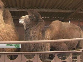 Разведение верблюдов - очень выгодный бизнес Сделано у нас