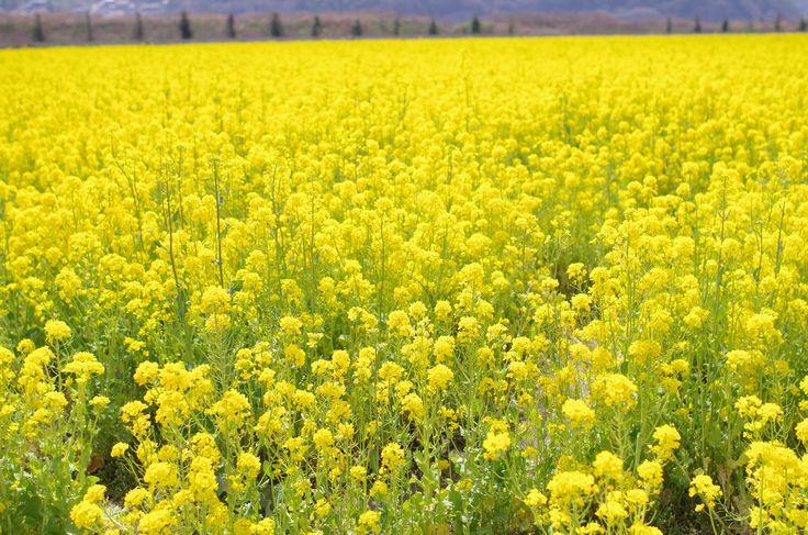 一面黄色の絨毯!菜の花 #rape blossoms#flower