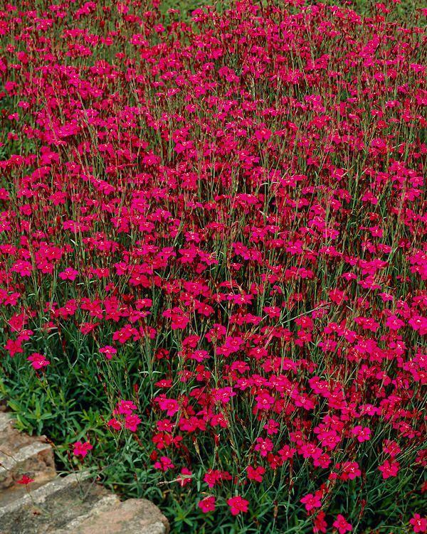Ketoneilikka punainen - Viherpeukalot