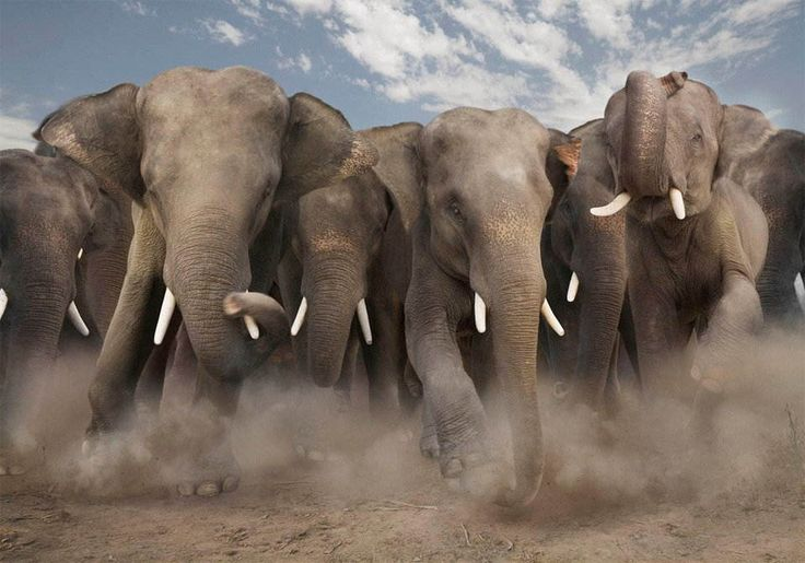 Awesome!: Wild Animal, Elephants, Picture, Animals, Elephant Stampede, Beautiful Animal, Animal Kingdom, Photo, Roll Tide