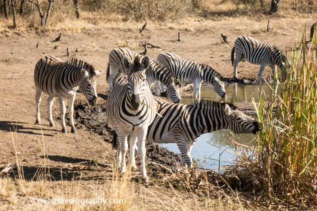 Zebras at Tala Game Reserve, KwaZulu-Natal, South Africa