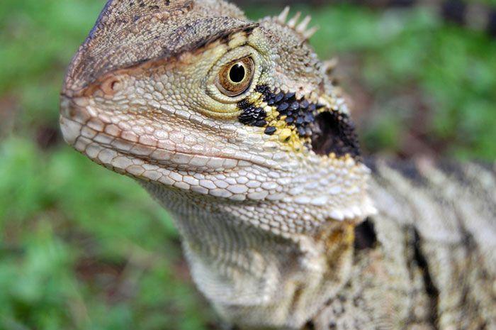 Australian lizard micro shot Brisbane Australia