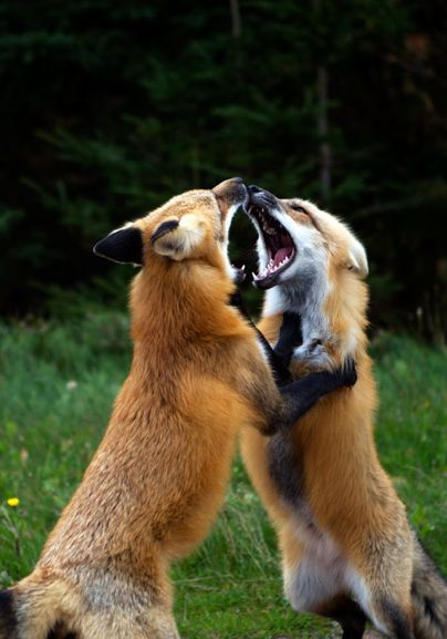 """* * FOX TUSSLE: """" Me seen her first!"""" ---""""Noes, she be meez vixen!"""" -- [""""Gets outta meez face and letz goes ask her !"""""""