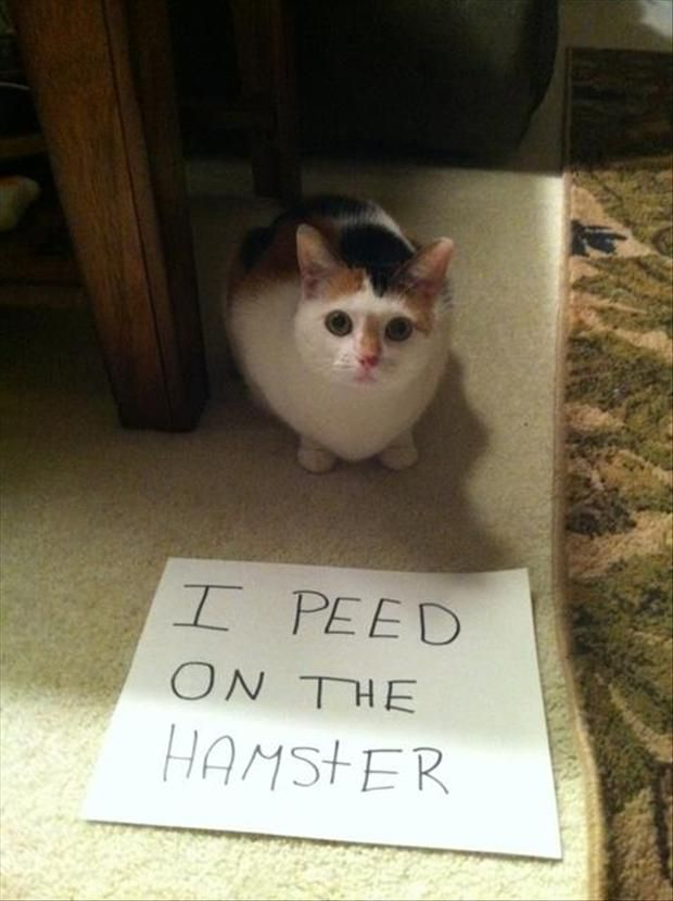 In dog shaming, the dog usually looks at least mildly embarrassed, with cats there's a look of mild indignity if not outright pride. Of course this cat peed on the hamster, damned straight he peed on the hamster, the hamster had it coming to him. Without a doubt that hamster has a very damp future indeed!
