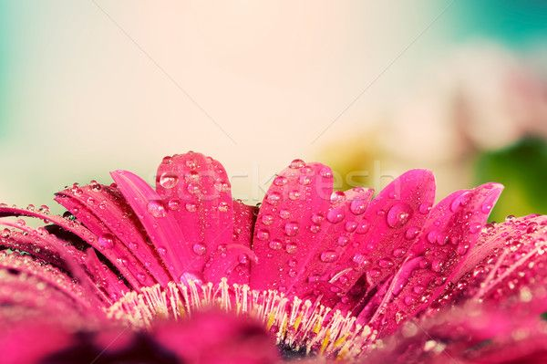 Fresh wet gerbera flower close-up at spring. Vintage background stock photo (c) photocreo (#5505322) | Stockfresh