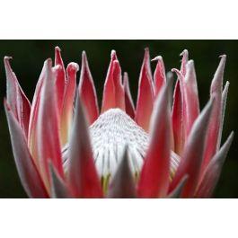 A4 print of King protea (Protea cynaroides) - MzansiStore.com