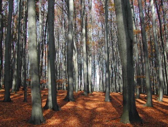 Nahuby.sk - Fotografia - bukový les