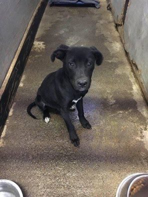 11/27/16-DIES THURSDAY 12/1 @9AM!! $50 donated !! Black dogs do not fare well at shelters! $150 donated to rescuer or adopter!! Please help us save this little puppy before the holidays!!! Male, Approx. 6-8 months 30lbs NEEDS A PLAN IN PLACE BY 11/30!!!CP