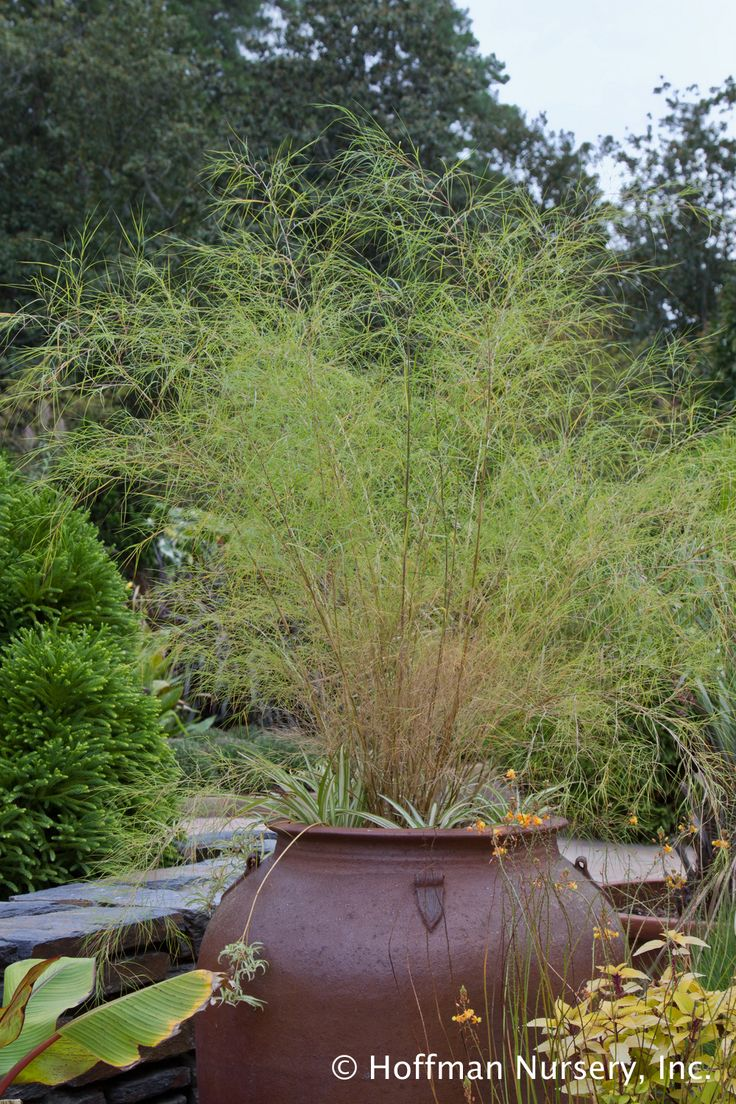 Muhlenbergia dumosa bamboo muhly excels as a container for Ornamental grasses for planters