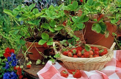 Erdbeeren im Topf