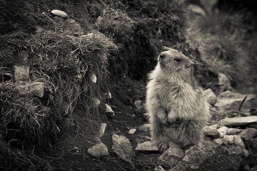 Les marmottes de fond d'Urle (suite une semaine après)