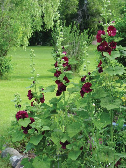 ~Hollyhocks~ Stokrozen